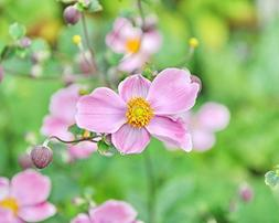 """Anemone Photograph, Pink Flower - """"September Charm"""" - Floral"""